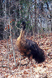 Emu at Wallace Gap