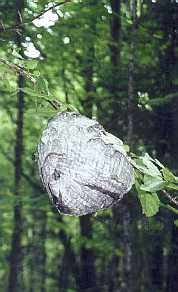 Beehive in trail