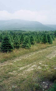 Christmas tree farm on the Reel Brook Trail